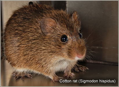 Cotton rat (Sigmodon hispidus)